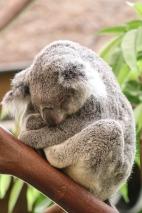 koala-2471174_640.jpg