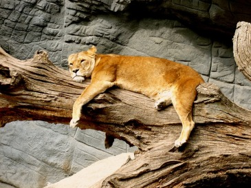 lioness-1560228_640.jpg
