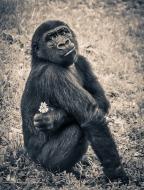 gorilla-914585_640