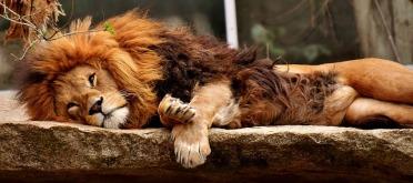 lion-3317566_640